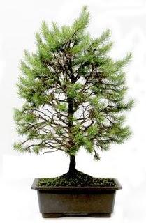 *** STOKTA YOK - Çam ağacı bonsai bitkisi satışı  Diyarbakır çiçekçi telefonları