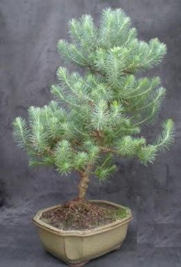 Bonsai çam ağacı japon ağacı bitkisi  Diyarbakır uluslararası çiçek gönderme