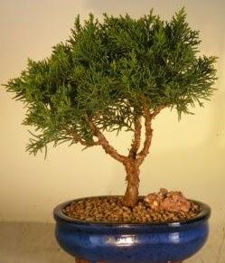 Servi çam bonsai japon ağacı bitkisi  Diyarbakır 14 şubat sevgililer günü çiçek