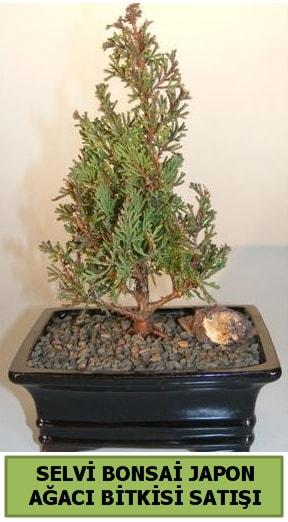 Selvi çam japon ağacı bitkisi bonsai  Diyarbakır hediye sevgilime hediye çiçek