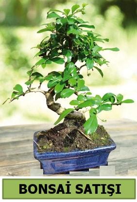 Çam bonsai japon ağacı satışı  Diyarbakır çiçek online çiçek siparişi