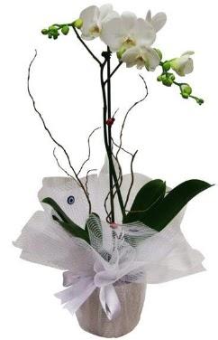 Tek dallı beyaz orkide  Diyarbakır çiçek gönderme
