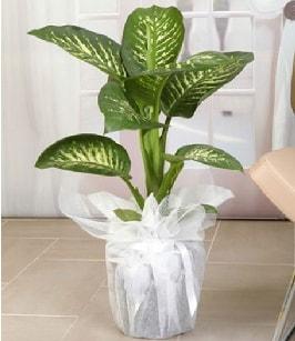 Tropik saksı çiçeği bitkisi  Diyarbakır çiçek online çiçek siparişi
