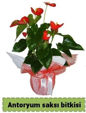Antoryum saksı bitkisi satışı  Diyarbakır çiçek servisi , çiçekçi adresleri