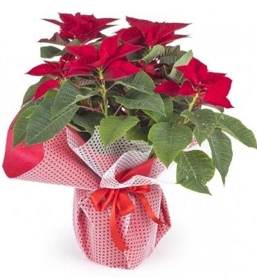 Atatürk çiçeği saksı bitkisi  Diyarbakır uluslararası çiçek gönderme
