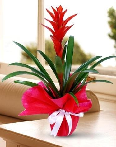 Guzmanya Saksı Çiçeği  Diyarbakır 14 şubat sevgililer günü çiçek