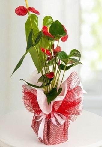 Anthurium Saksı Çiçeği  Diyarbakır kaliteli taze ve ucuz çiçekler