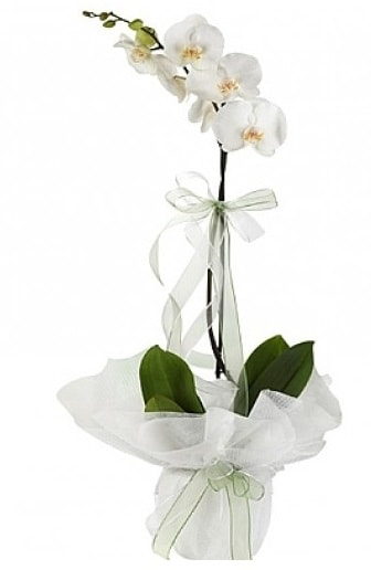 Tekli Beyaz Orkide  Diyarbakır kaliteli taze ve ucuz çiçekler