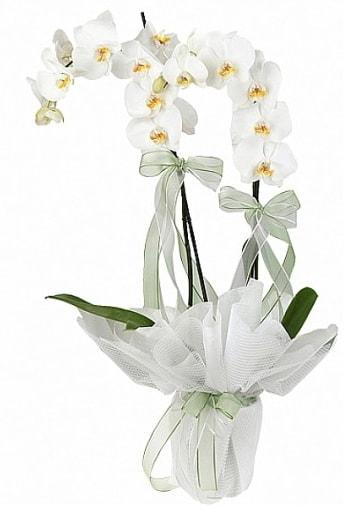 Çift Dallı Beyaz Orkide  Diyarbakır ucuz çiçek gönder