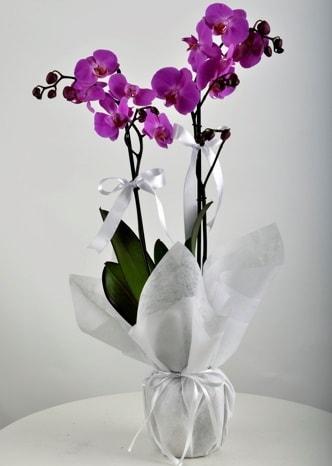 Çift dallı saksıda mor orkide çiçeği  Diyarbakır çiçek gönderme sitemiz güvenlidir