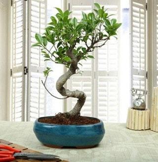 Amazing Bonsai Ficus S İthal  Diyarbakır İnternetten çiçek siparişi
