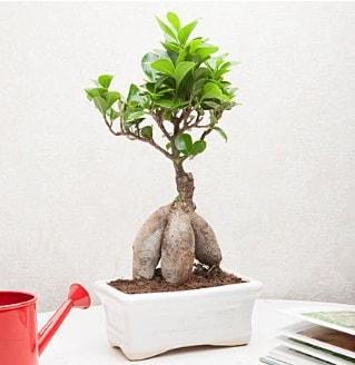 Exotic Ficus Bonsai ginseng  Diyarbakır çiçek siparişi sitesi