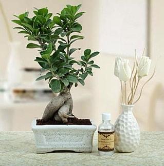 Ginseng ficus bonsai  Diyarbakır çiçek yolla , çiçek gönder , çiçekçi