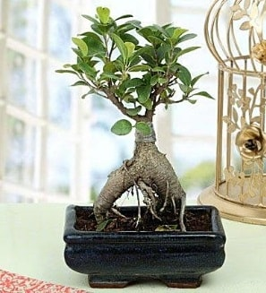 Appealing Ficus Ginseng Bonsai  Diyarbakır ucuz çiçek gönder