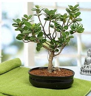 Lovely Ficus Iceland Bonsai  Diyarbakır ucuz çiçek gönder