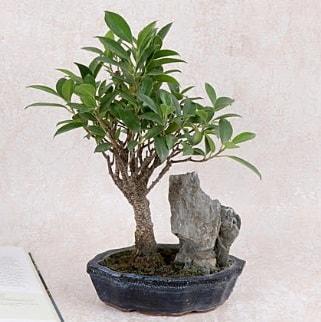 Japon ağacı Evergreen Ficus Bonsai  Diyarbakır uluslararası çiçek gönderme