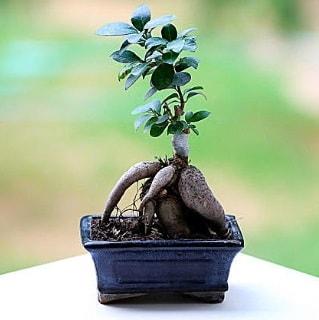 Marvellous Ficus Microcarpa ginseng bonsai  Diyarbakır çiçek gönderme sitemiz güvenlidir