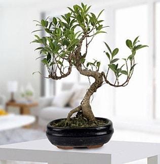 Gorgeous Ficus S shaped japon bonsai  Diyarbakır çiçek siparişi vermek