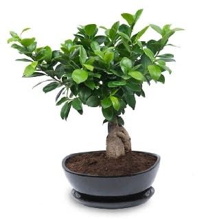 Ginseng bonsai ağacı özel ithal ürün  Diyarbakır online çiçekçi , çiçek siparişi