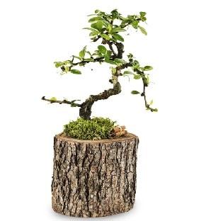 Doğal kütükte S bonsai ağacı  Diyarbakır çiçek online çiçek siparişi