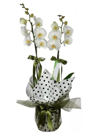 Çift Dallı Beyaz Orkide  Diyarbakır çiçek , çiçekçi , çiçekçilik