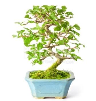 S zerkova bonsai kısa süreliğine  Diyarbakır cicekciler , cicek siparisi