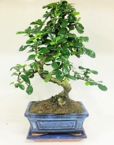 S Bonsai japon ağacı bitkisi  Diyarbakır çiçek satışı