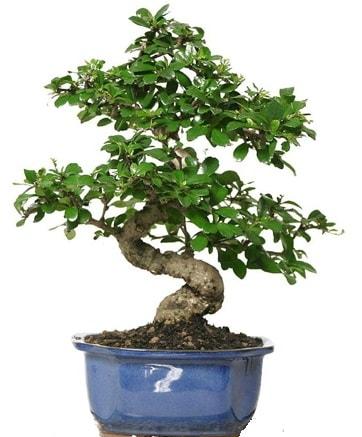 21 ile 25 cm arası özel S bonsai japon ağacı  Diyarbakır hediye sevgilime hediye çiçek