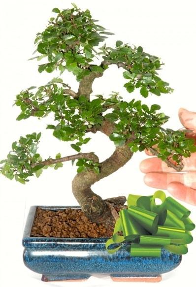 Yaklaşık 25 cm boyutlarında S bonsai  Diyarbakır yurtiçi ve yurtdışı çiçek siparişi