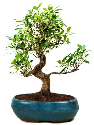 25 cm ile 30 cm aralığında Ficus S bonsai  Diyarbakır uluslararası çiçek gönderme