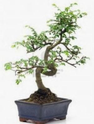 S gövde bonsai minyatür ağaç japon ağacı  Diyarbakır çiçek online çiçek siparişi