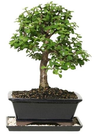 15 cm civarı Zerkova bonsai bitkisi  Diyarbakır yurtiçi ve yurtdışı çiçek siparişi