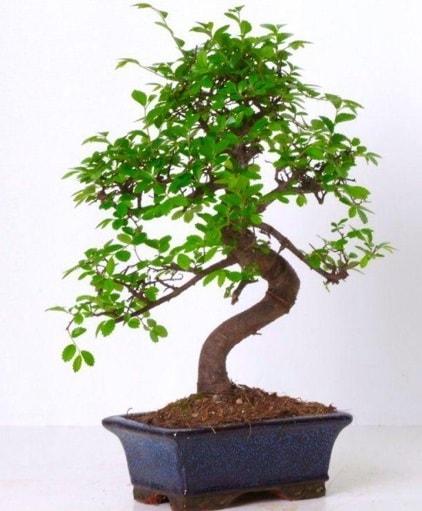 S gövdeli bonsai minyatür ağaç japon ağacı  Diyarbakır uluslararası çiçek gönderme