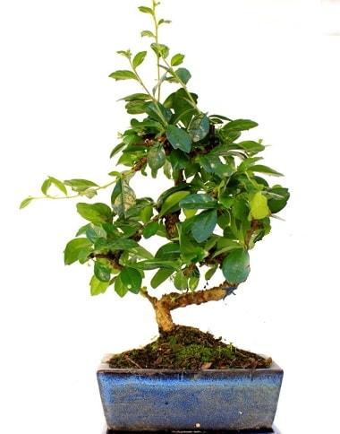 S gövdeli carmina bonsai ağacı  Diyarbakır 14 şubat sevgililer günü çiçek  Minyatür ağaç
