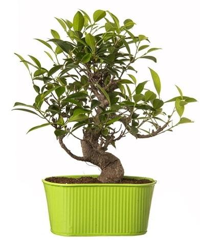 Ficus S gövdeli muhteşem bonsai  Diyarbakır yurtiçi ve yurtdışı çiçek siparişi
