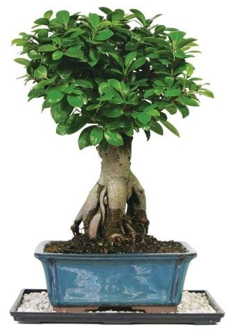 Bonsai Ginsing Grafted Ficus Bonsai  Diyarbakır 14 şubat sevgililer günü çiçek