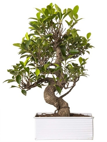 Exotic Green S Gövde 6 Year Ficus Bonsai  Diyarbakır uluslararası çiçek gönderme