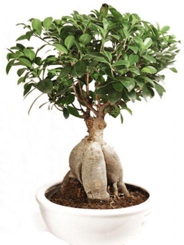 Ginseng bonsai japon ağacı ficus ginseng  Diyarbakır cicekciler , cicek siparisi
